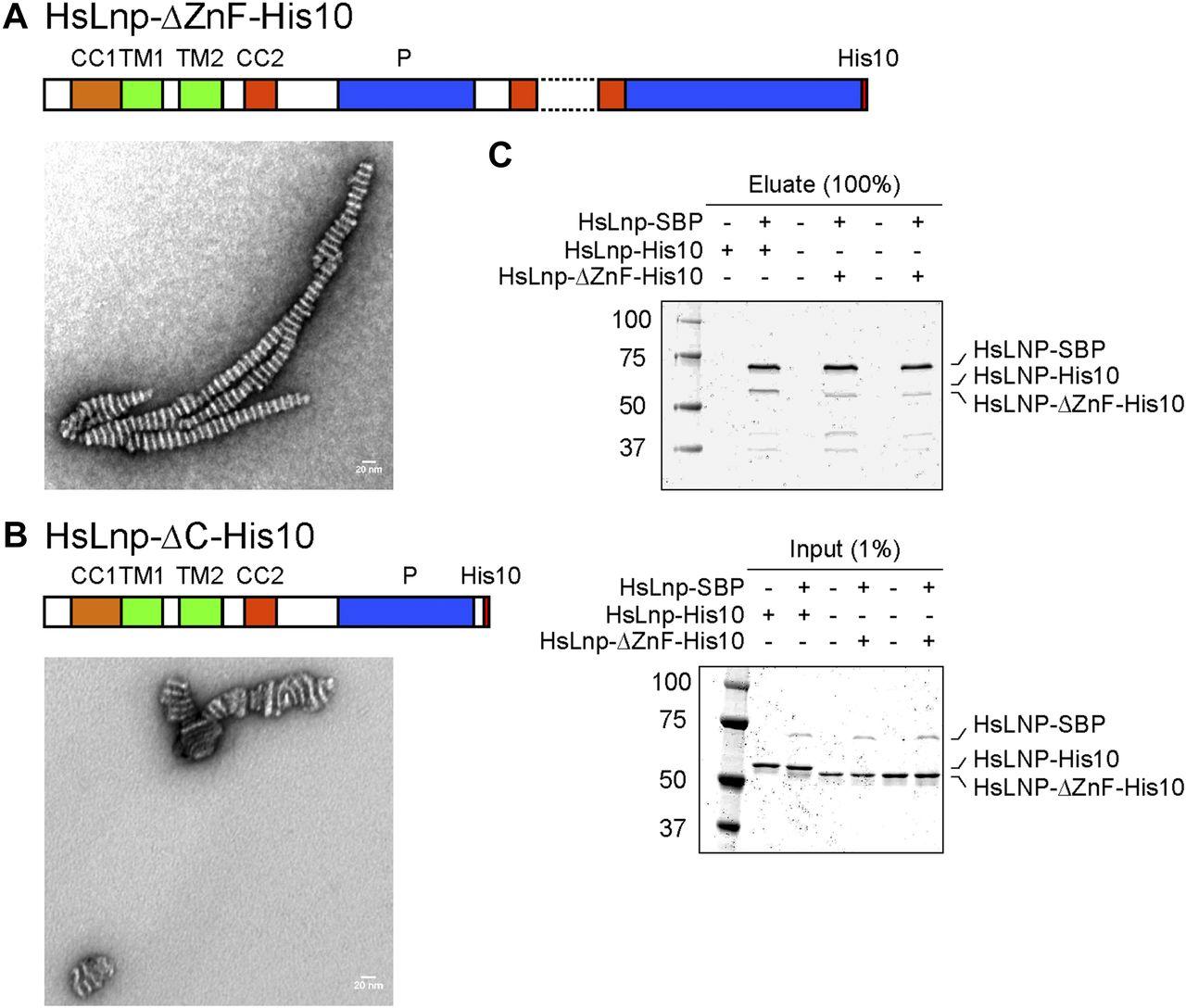 The ER morphology-regulating lunapark protein induces the