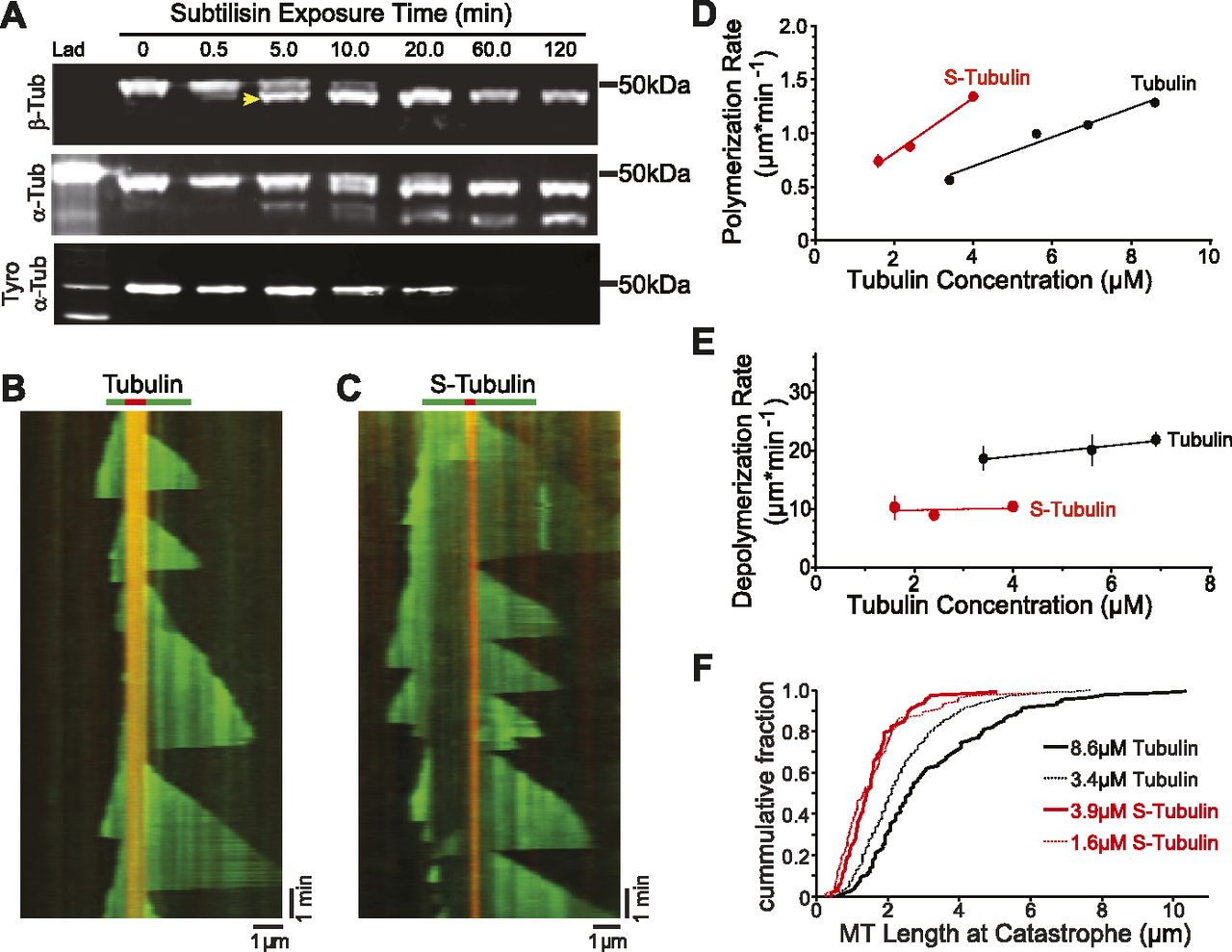 investigation in microtubule dynamic instability Less is known about the effects of disrupting microtubule dynamics without  affecting net assembly to investigate this, we studied the effects of.