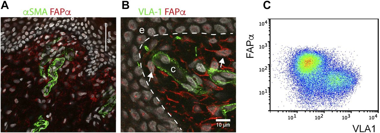 Pericytes promote skin regeneration by inducing epidermal cell