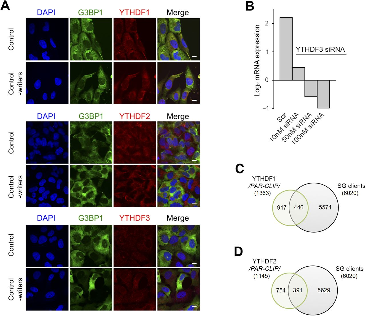 Dynamic m6A methylation facilitates mRNA triaging to stress granules