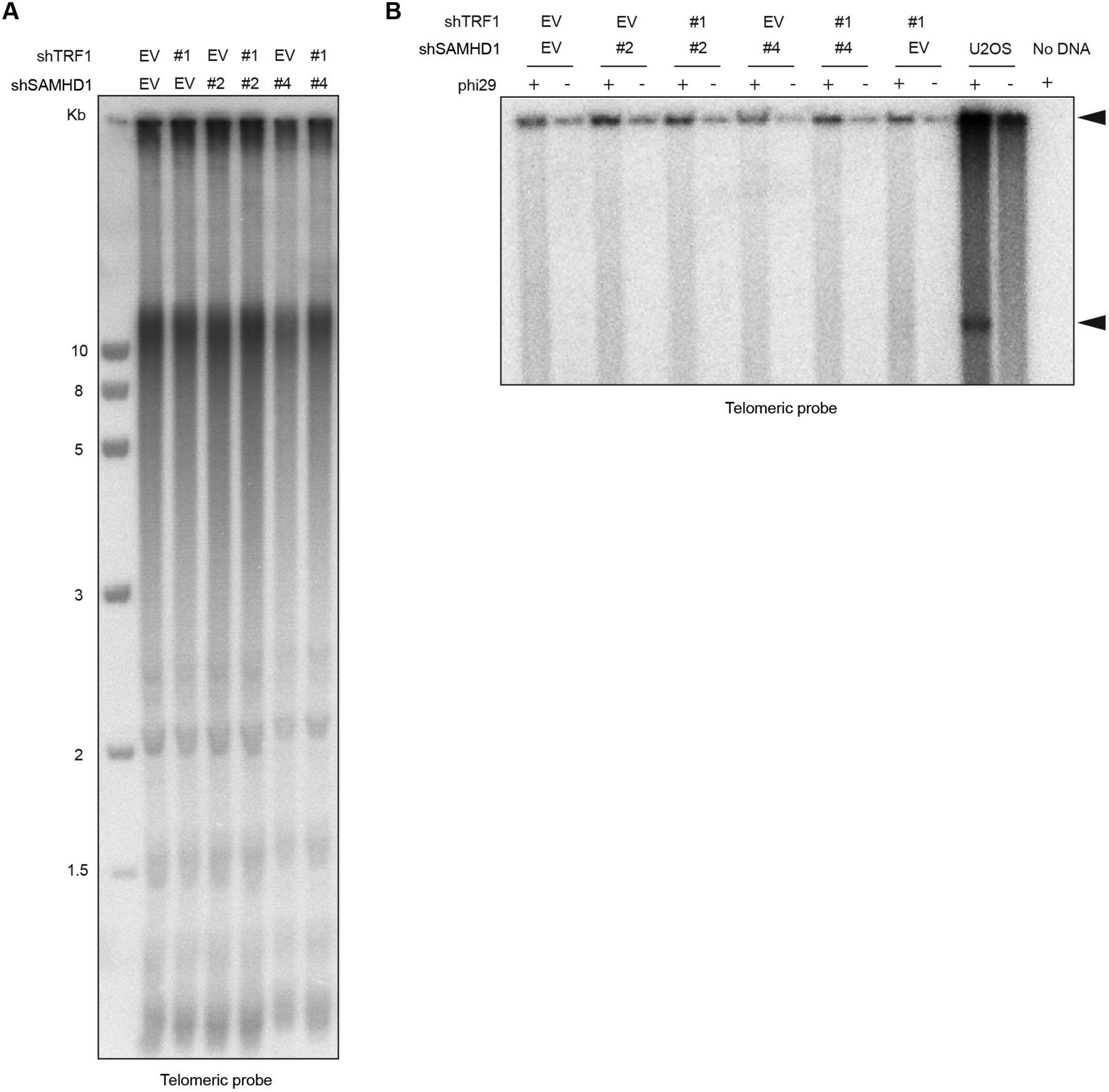 Transformation Induced Stress At Telomeres Is Counteracted Through Ji Zhi Tang Jiang Download Figure