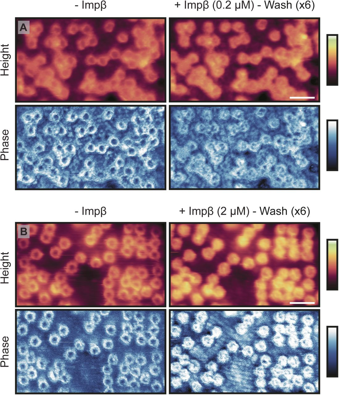 Atomic Force Microscopy Reveals Structural Variability Amongst Brush Real Techniques Ori Usa Import Download Figure
