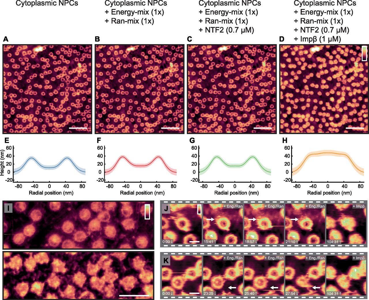 Atomic force microscopy reveals structural variability amongst