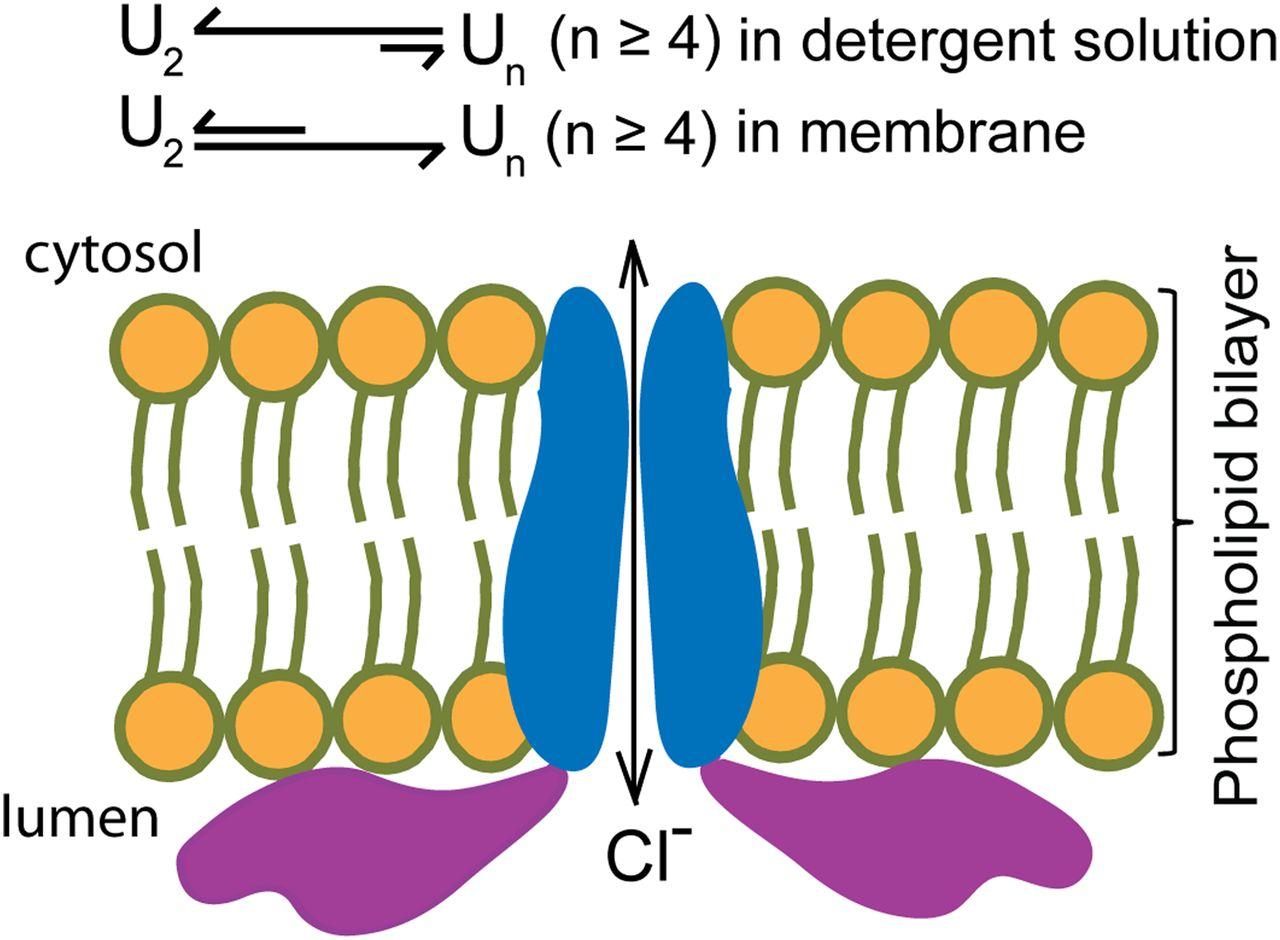 Secretory granule protein chromogranin B (CHGB) forms an