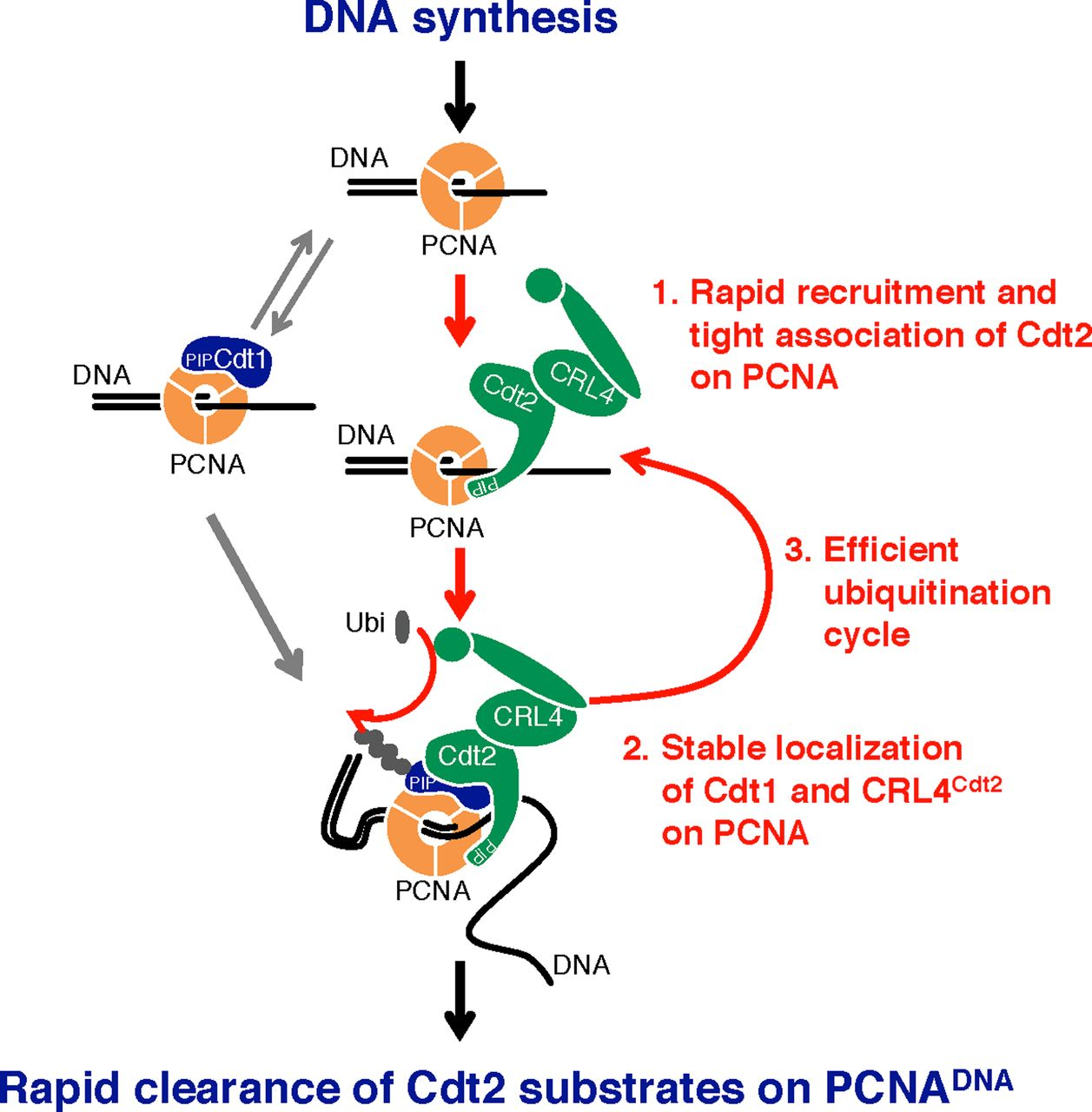 Direct binding of Cdt2 to PCNA is important for targeting