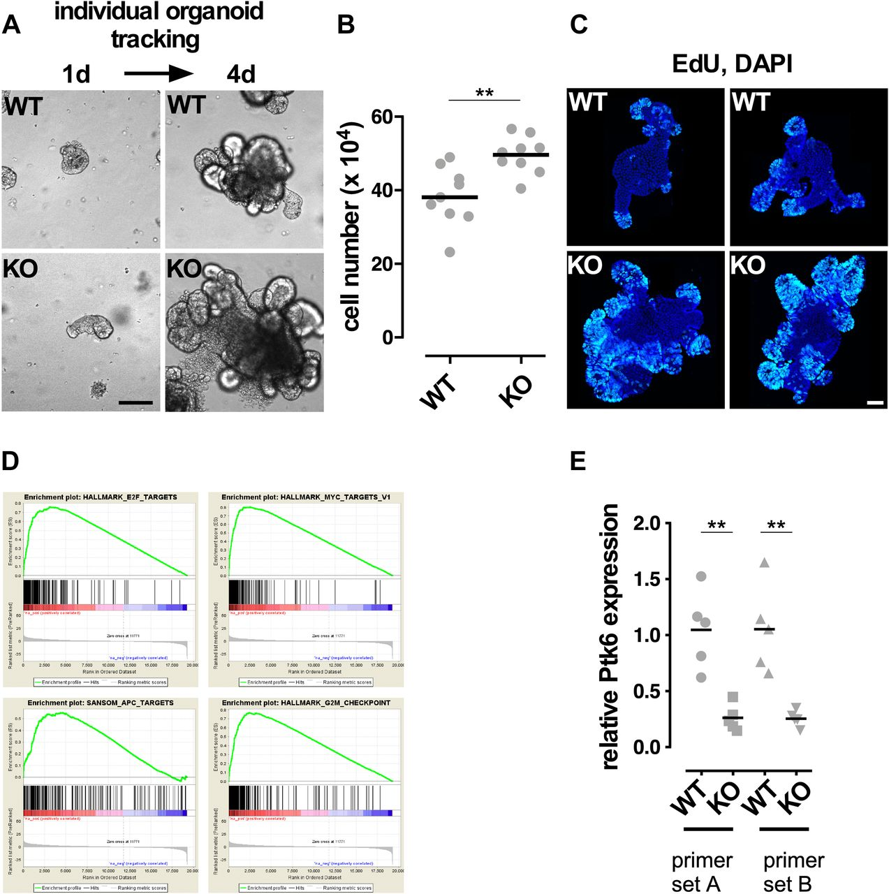 A C/EBPα–Wnt connection in gut homeostasis and carcinogenesis | Life