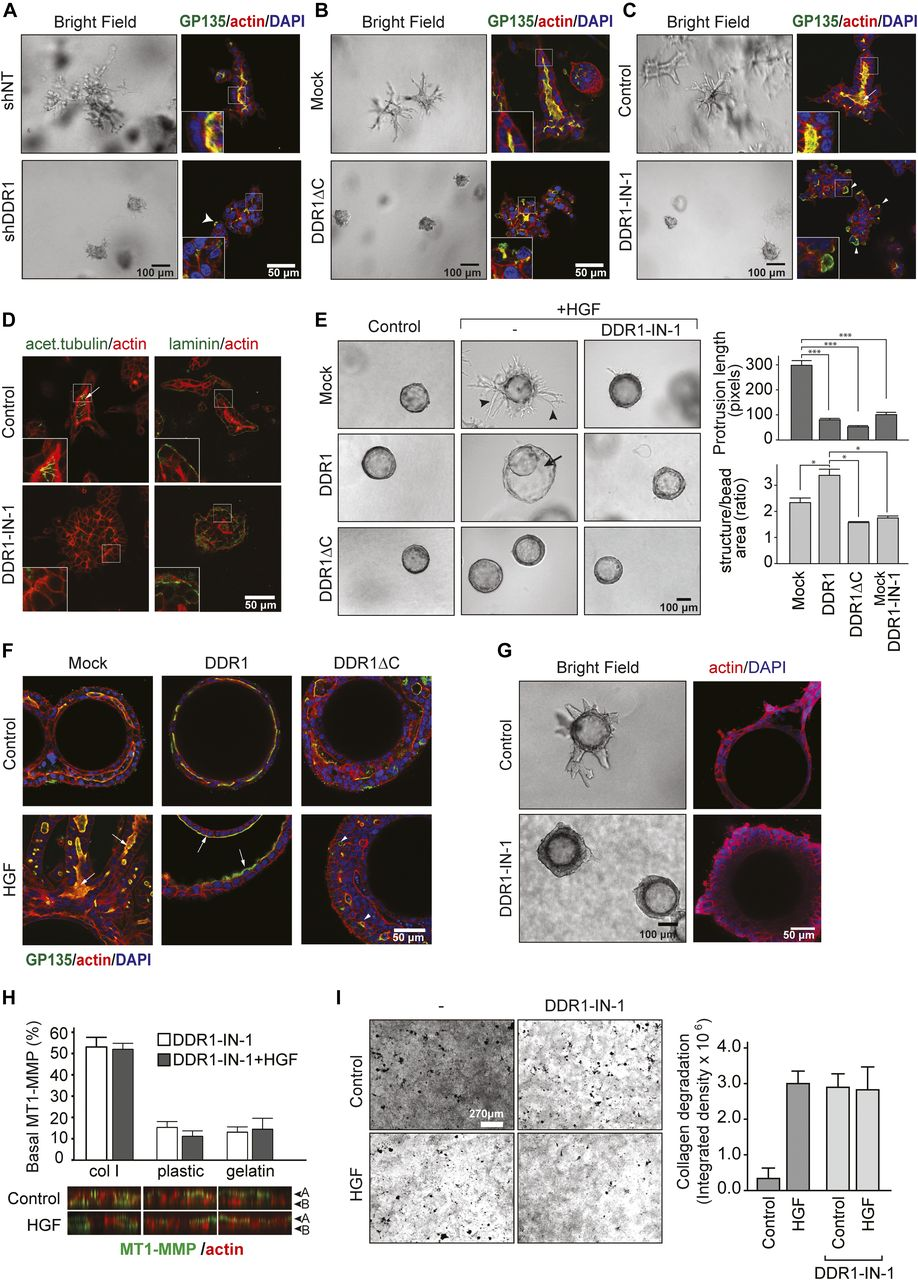 Epithelial polarization in 3D matrix requires DDR1 signaling