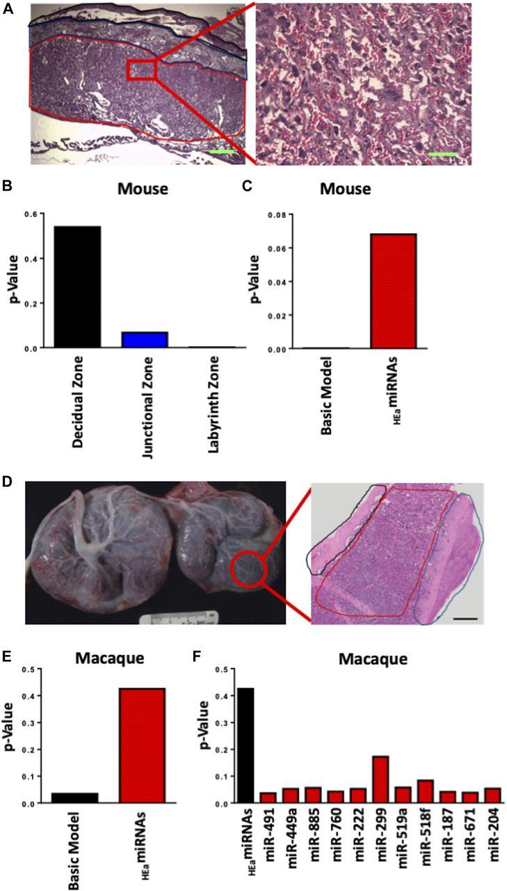 Maternal circulating miRNAs that predict infant FASD