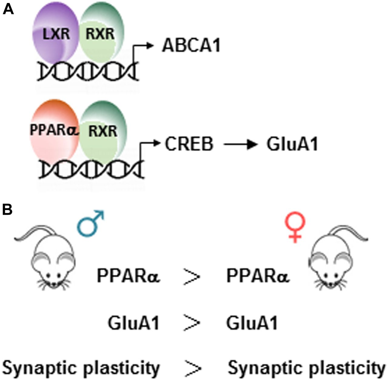 Sex-regulated Gene Dosage Effect Of PPARα On Synaptic