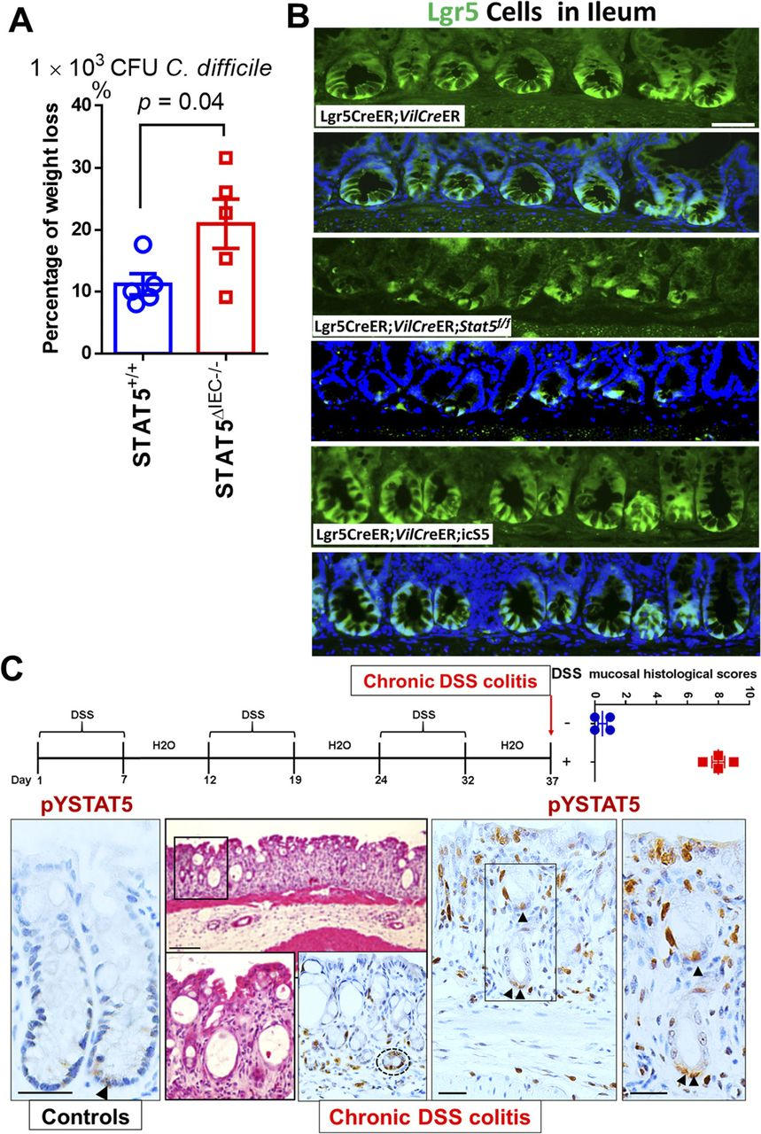 Constitutive STAT5 activation regulates Paneth and Paneth