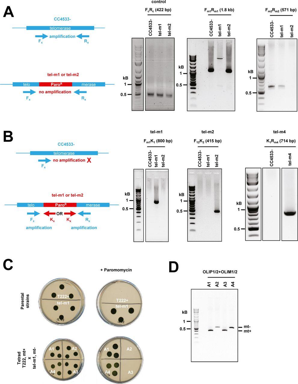 Molecular characterization of Chlamydomonas reinhardtii