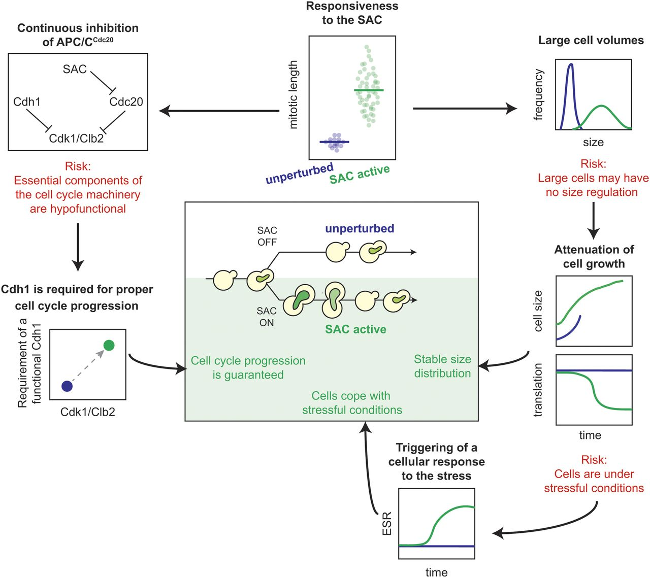 Cellular response upon proliferation in the presence of an active