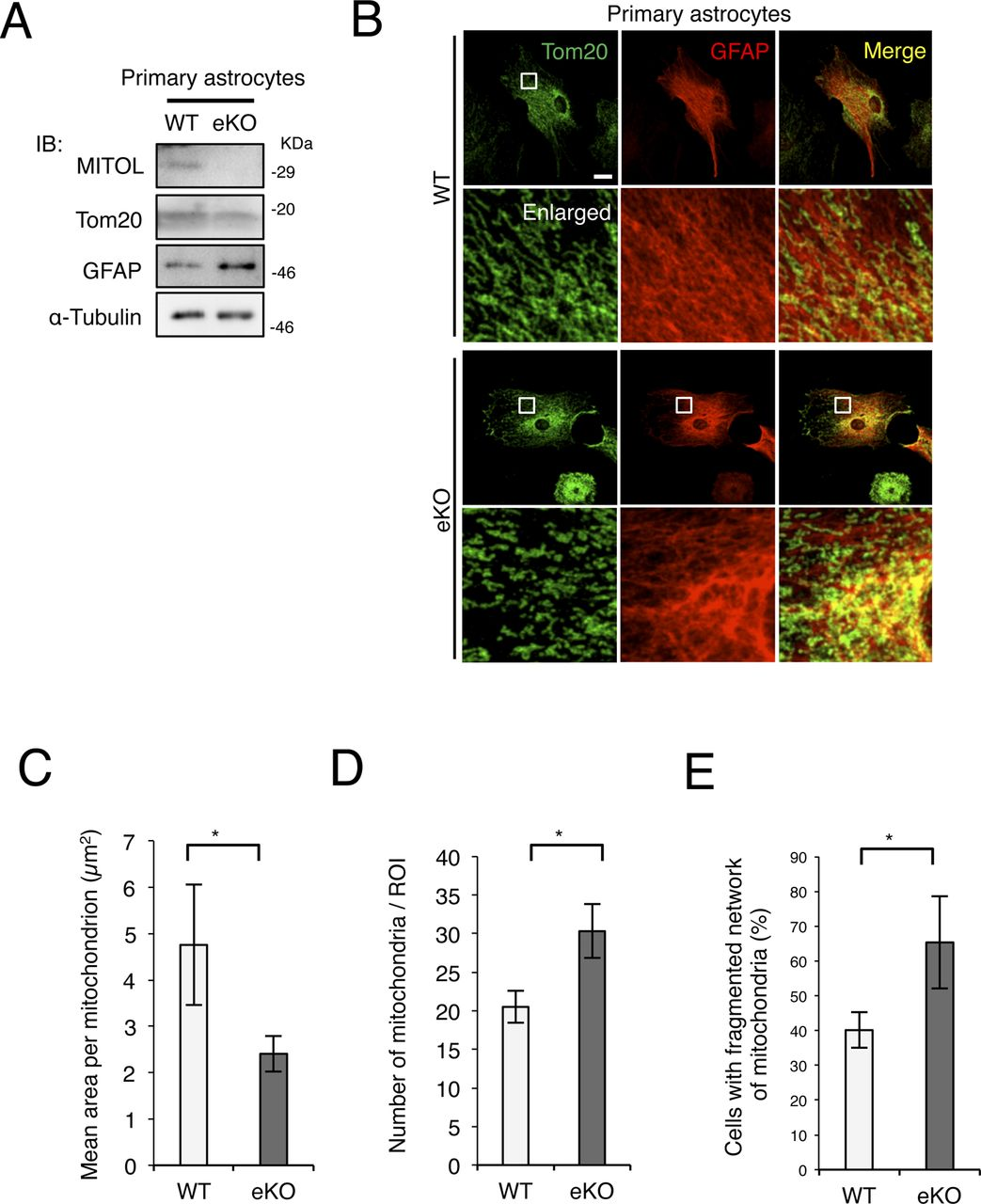 Mitol Deletion In The Brain Impairs Mitochondrial Structure