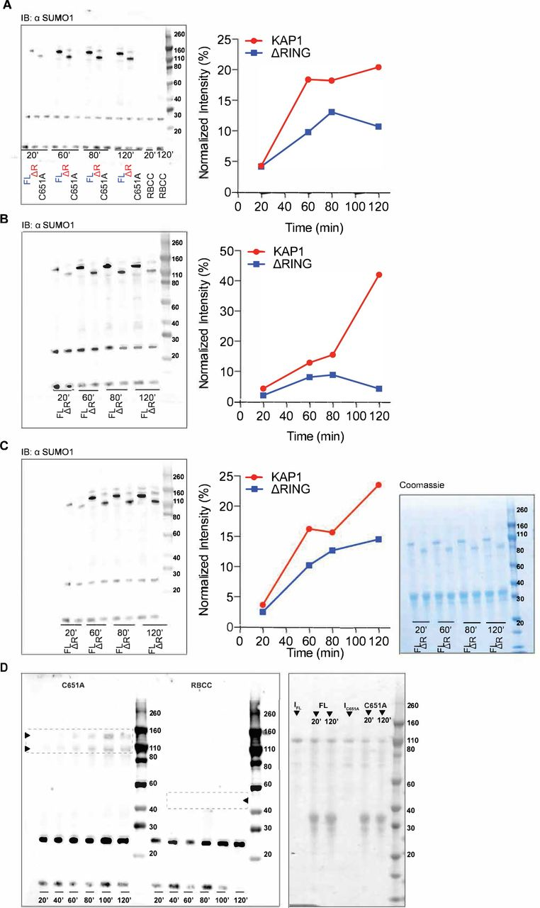 KAP1 is an antiparallel dimer with a functional asymmetry