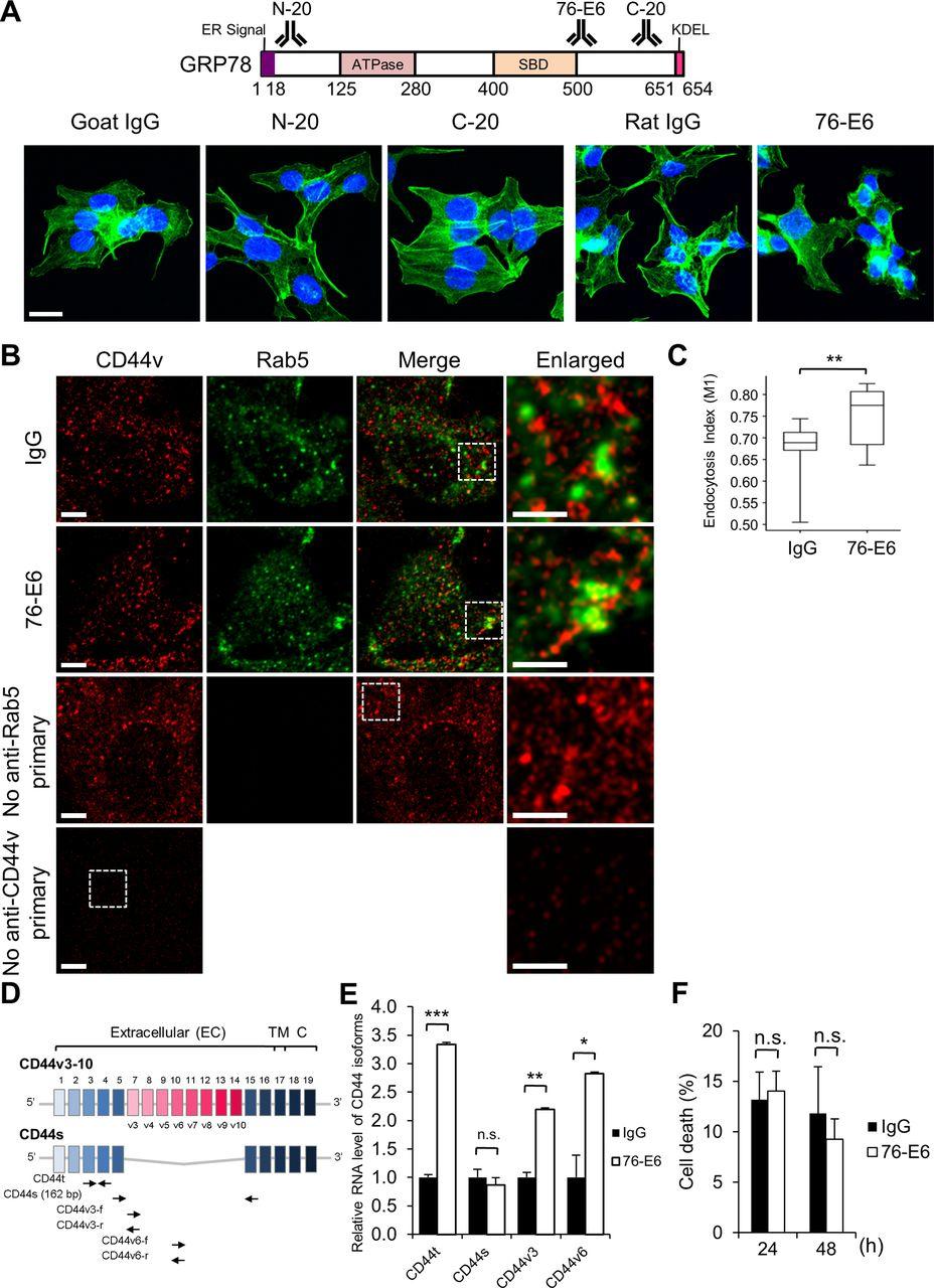 GRP78 regulates CD44v membrane homeostasis and cell