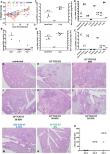 SARS-CoV-2 infection induces protective immunity and limits transmission in Syrian hamsters