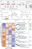 Proteomics characterisation of the L929 cell supernatant and its role in BMDM differentiation