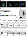 Fibril-induced glutamine-/asparagine-rich prions recruit stress granule proteins in mammalian cells