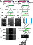 In vivo and in vitro knockout system labelled using fluorescent protein via microhomology-mediated end joining